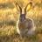 Лев и заяц | «Маснави» Мавляна Джалалетдин Руми