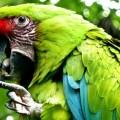 Попугай бакалейщика