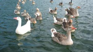 Предложение сокола гусям